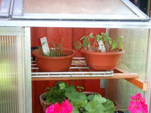 Thaibasilikat, sitruunaruohot eivätkä myöskään punahierakat kasvaneet hyvin tässä kaapissa.