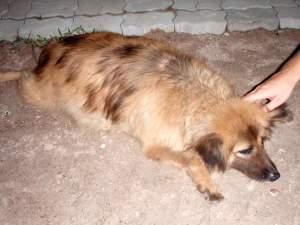 Sairee Beachillä tatuointiliikkeen omistajalla oli Intiasta tuotu koira, jonka omistaja oli kuitenkin syöttänyt aivan hullun lihavaksi.