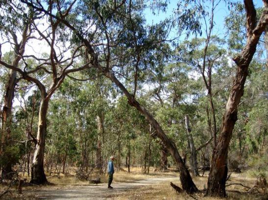 Eukaliptuspuita koaloiden suojelukeskuksessa, jossa sai kävellä ympäriinsä ja yrittää tihrustaa koaloita puissa.