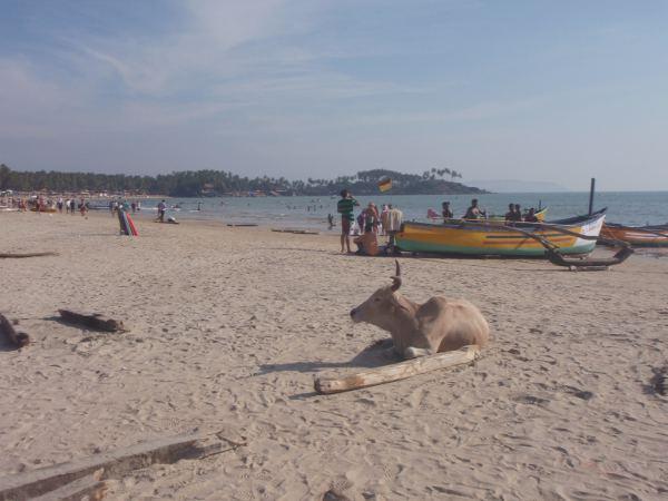 Lehmä Palolemin rannalla lähellä rannalle päätyvää tietä ja parkkipaikkaa.