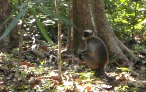 Apina tien vieressä Cotigaolla.