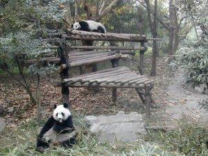 Kaksi pandaa puuhissaan, syömistä ja nukkumista.