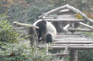 Tämä panda oli jäänyt puoliväliin aitaa ylitysmatkallaan.