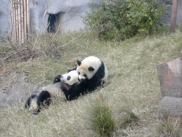 Kaksi leikkivää pandan pentua menivät seuraavaksi mäkeä alas mukkelis makkelis.