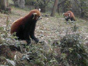Punapandoja, jotka eivät kuitenkaan ole karhuja.