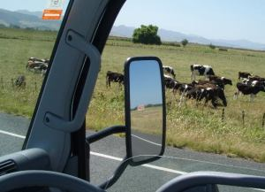 Lehmiä ikkunassa vähän ennen Coromandel Peninsulaa.