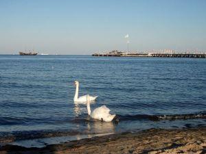 Joutsenia Sopotin rannalla.