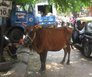 Lehmät Mumbain kadulla kaiken hälinän keskellä.