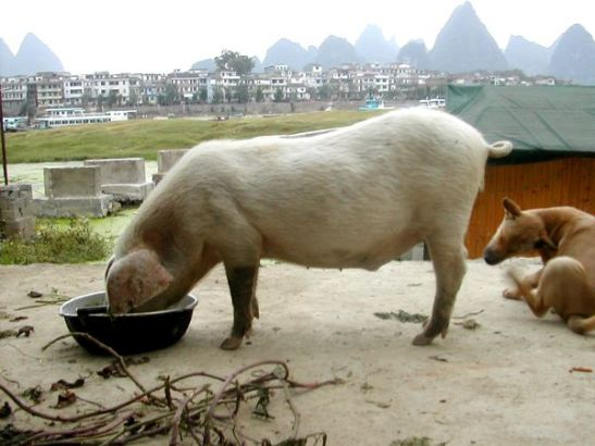 Aika hienot maisemat näillä possulla ja koiralla Kiinan Yangshuossa.