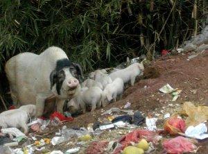 Possuja Kiinan Yangshuossa roskia tonkimassa.