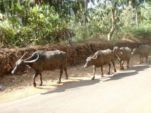 Puhvelijono on ihan normaali näky intialaisella tiellä.