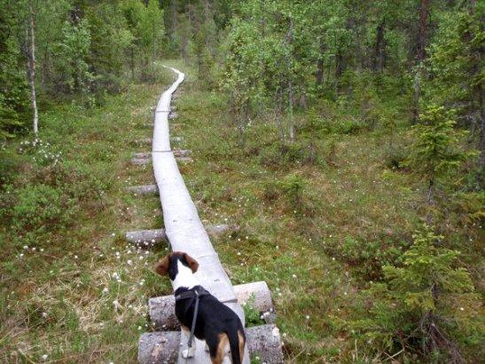 Pitkospuita oli matkalla, niitä on aina kiehtova kävellä suomaisemissa.