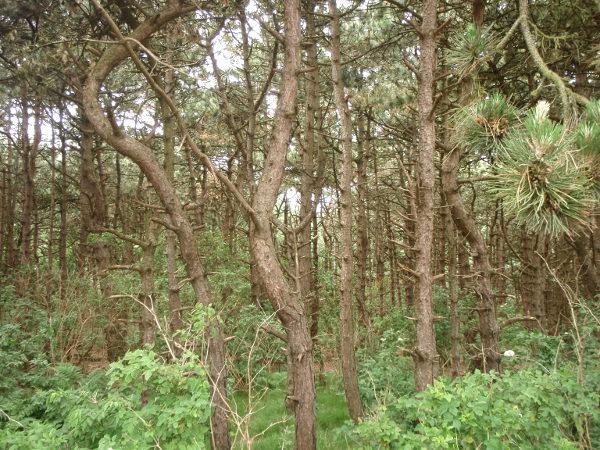 Kivannäköistä metsää De Haanissa matkalla rannalle.