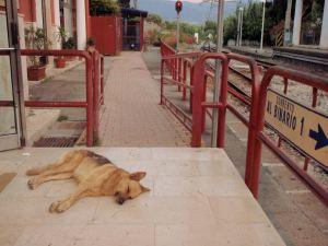 Koira Pompei Scavin asemalla. Sama koira mukavine kavereineen oli tavattavissa toisiaan myös Pompein raunioiden lipunmyynnin lähettyvillä.