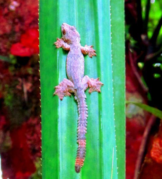 Jännän sahalaitahäntäinen ja räpyläjalkainen gekko Thaimaassa.