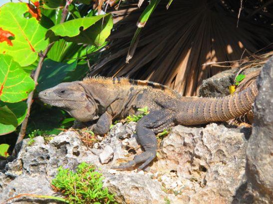 Komea harjallinen iguaani Meksikossa Tulumin raunioilla.