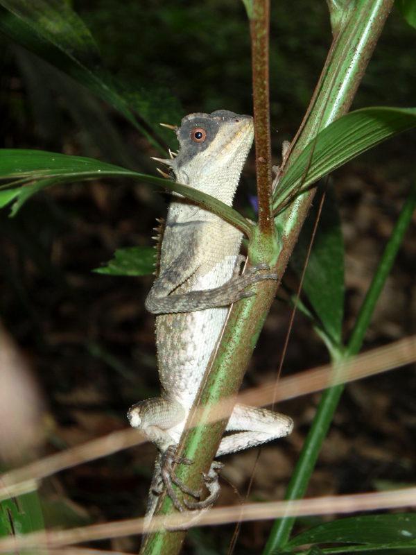 Kameleontti tai muu lisko Thaimaan Khao Sokin kansallispuistossa.
