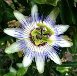 Passionhedelmän kukka eli kärsimyskukka Italian Cinque Terressä.