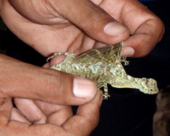 """Lentolisko Thaimaan Khao Sokin kansallispuistossa. En olisi halunnut oppaan ottavan liskoa kiinni ja näyttävän sen """"siipiä"""". Toivottavasti lisko säilyi vahingoittumattomana ja jatkoi normaalisti matkaansa."""