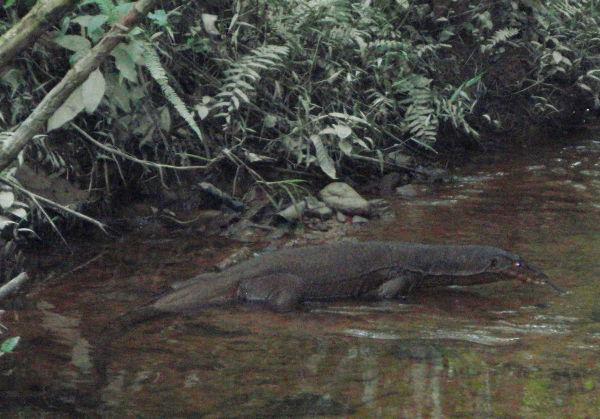 Varaani leiripaikkamme viereisellä purolla Sumatralla Gunung Leuserin kansallispuistossa. Varaanit eivät välittäneet meistä ja tallustelivat vedessä.