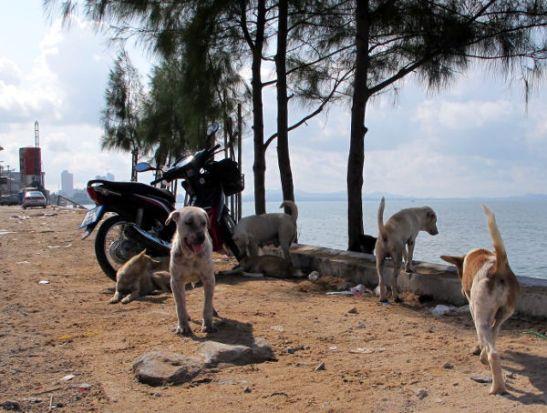 Jomtienillä oli yhdessä kohtaa iso koiralauma. Siellä näki huonokuntoisia koiria ja minua suututti etteivät Pattayalla talvehtivat ihmiset tee enempää niin hyväksi.