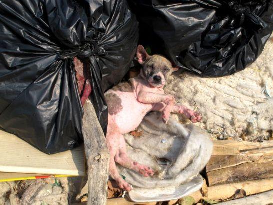 Ta Waenin ja Tong Langin rantojen välissä roskakasoissa oli maailman huonokuntoisin koiranpentu. Sen iho oli ruvella ja varmaankin punervaksi palanut karvattomuudessaan. Tällaiset piittaamattomuudet pilaavat Thaimaan paratiisimaineen.
