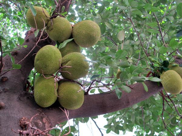 Jakkihedelmät voivat kasvaa korkealla puussa.