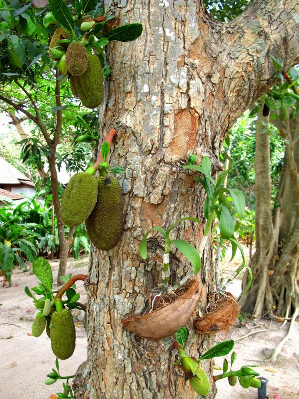 Jakkihedelmät ovat niin painavia, että ne kasvattavat oman oksansa puunrungosta kannattelemaan painoa.