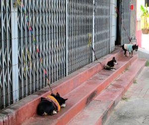 """Nämä eivät missään nimessä ole huono-onnisimpia koiria Thaimaassa, koska niistä pidetään jossain määrin huolta. Silti on järjenvastaista sitoa koirat kadunvarteen lyhyeen naruun. Ehkä ne viettävät kaikki päivänsä tässä """"vahtimassa""""."""