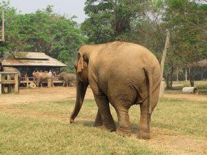 Hellyttävä norsun pylly.