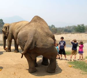 Tämän norsun lantiossa on jokin vamma. Onneksi se on saanut turvapaikan Elephant Nature Parkista.