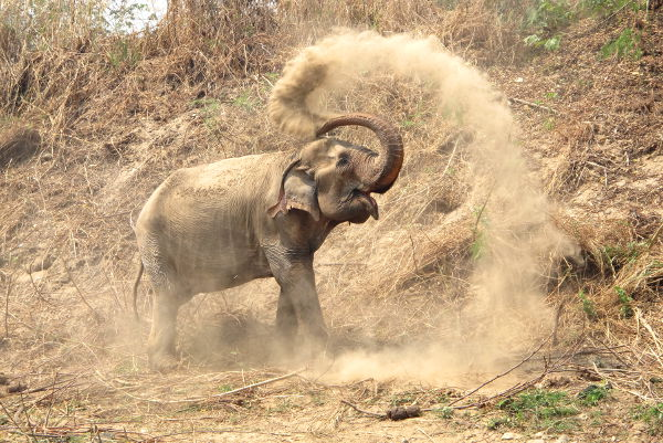 Norsut heittävät hiekkaa päällensä suojatakseen ihoaan.