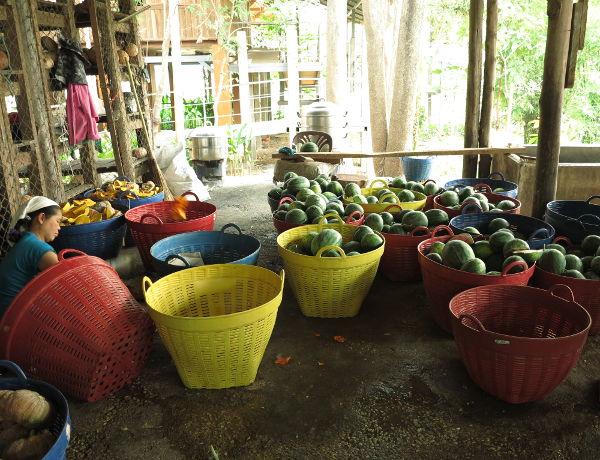 Norsut syövät valtavasti ja jos puistoon menisi viikoksi vierailemaan, pääsisi osallistumaan vihannesten ja hedelmien pilkkomiseen.