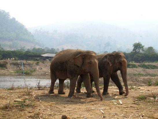 Elephant Nature Parkin norsut ovat itse valinneet keiden muiden norsujen seuraan liittyvät. Ainakin yksi oli erakkokin.