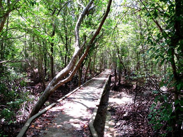 Polku mangrovemetsässä.
