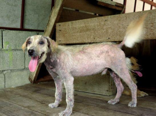 Ihana Amigo-koiranpentu huhtikuussa kärsi karvojen puutteesta, minkä aiheuttaa jonkinlainen parasiitti.