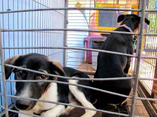 Respaan tuodaan melkein päivittäin koiria kaduilta ja temppeleiltä steriloitavaksi, rokotettavaksi, madotettavaksi ja hoitoon.