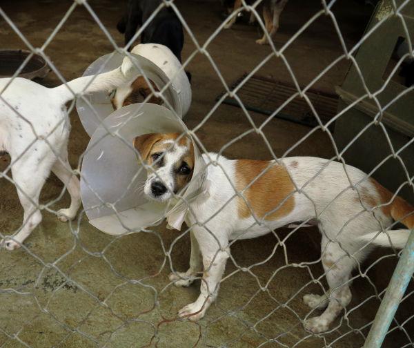 Monet koirat tulivat tarhalle vain rokotuksiin ja sterilointiin, minkä jälkeen ne palaavat kadulle tai koteihinsa.