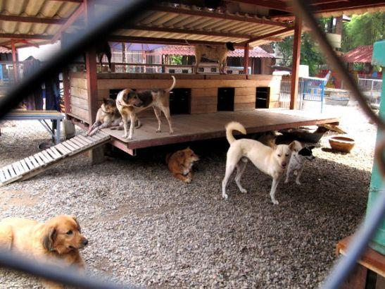 Chiang Maissa on ison osan vuodesta niin kuuma että koirat läähättävät vain. Kuvassa kolmijalkainen koira, joita totuin Thaimaan koiratarhoilla näkemään ja huomaamaan että ne pystyvät liikkumaan siinä missä muutkin koirat.
