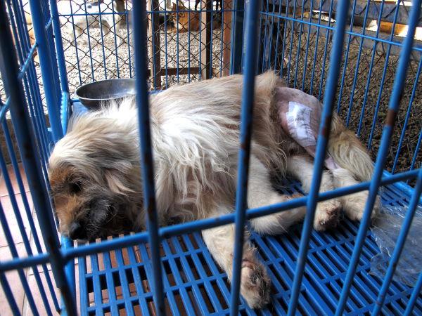 Tarhalle tuodaan koiria, joilla on usein joku jaloista vahingoittunut esimerkiksi mopon tai auton törmäyksessä. Tässä Pui, joka myös jäi tarhalle odottamaan adoptointia.