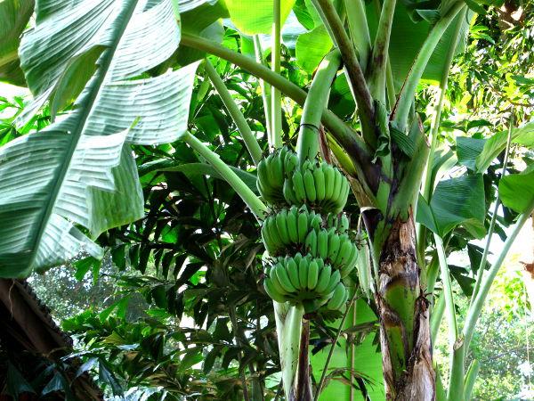 Banaanipuu bungalowin vieressä.