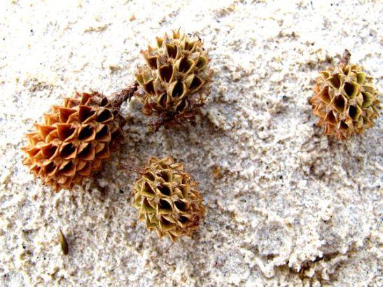 Nämä miniananaksen näköiset siemenkodat ovat käsittääkseni casuarinasta. Eri maista löytyy casuarinaa pehmeän havupuun näköisinä hiekkarannoilla kasvamassa ja hiekalta löytyy näitä kotia.