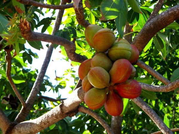 Näistä hedelmistä kuivuu edellisen kuvan kävyt.