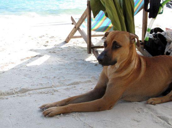Saarella oli erikoisen paljon koiria. Useimmilla oli selässään kaistale