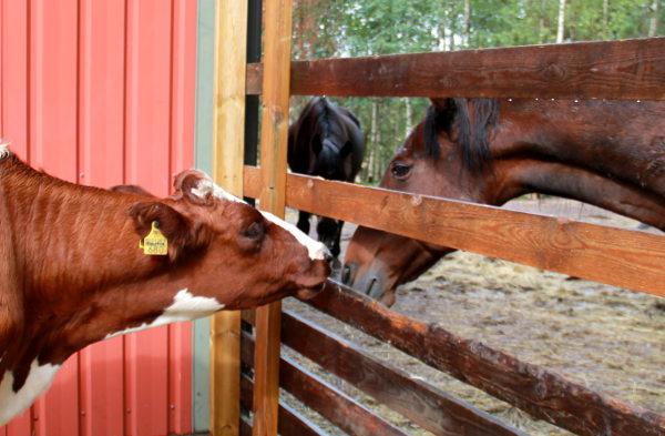 Hevonen ja lehmä.