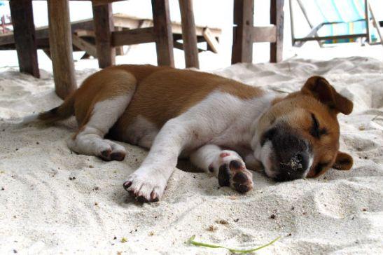 koiranpentu nukkuu rannalla