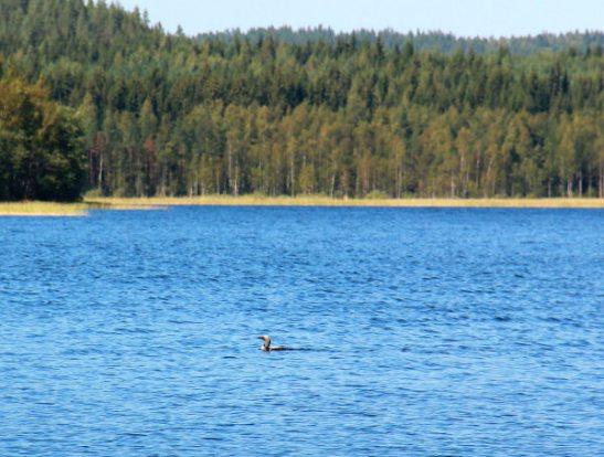 Kuikka järvellä.