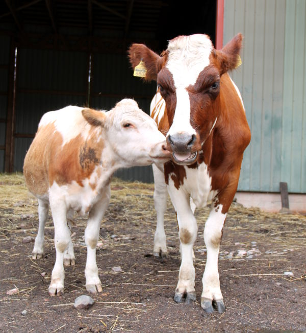 Vaikka Jennifer on ollut Tuulispäässä vasta viikon, vaikuttavat lehmät erottamattomalta. Nuori Nunnu-poika seuraa Jenniferiä kaikkialle.