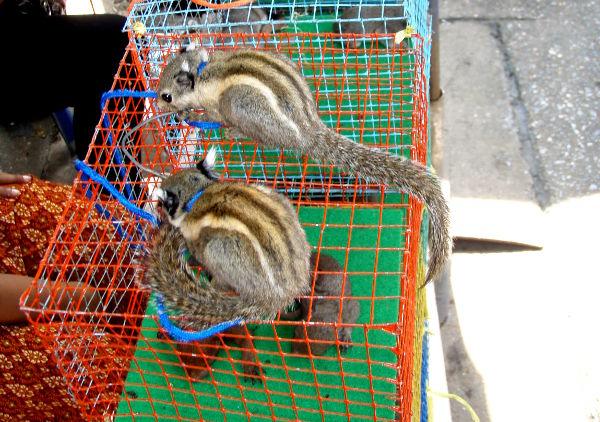 Oravia myynnissä lemmikeiksi Bangkokin Chatuchakin markkinoilla 2010. Tällaisissa tilanteissa on vaikea tietää mitä tekisi. Jos yritän näyttää surulliselta ja säälivältä, eivät thaimaalaiset myyjät ehkä ymmärrä reaktiotani ollenkaan niin kuin toivon.
