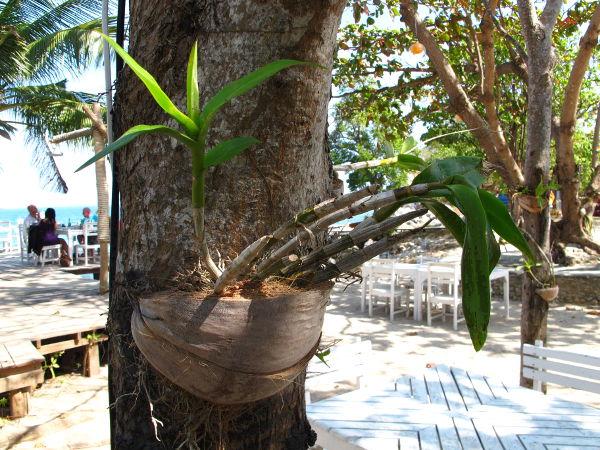 Orkidea kasvamassa puuhun kiinnitetyssä kookosruukussa.